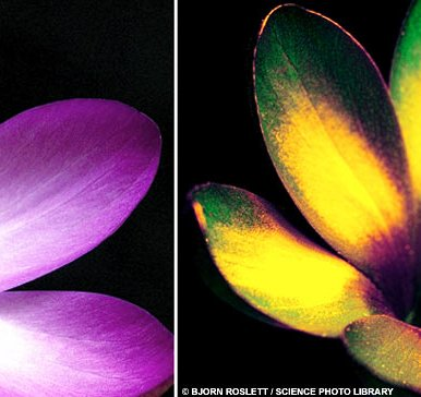 Crocus in Ultraviolet