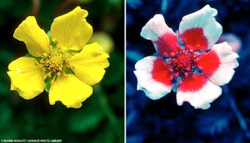 Silverweed in Ultraviolet