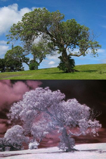 Tree photographed in the near infrared range