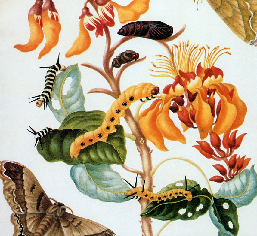 Maria Sibylla Merian: illustrating the natural world