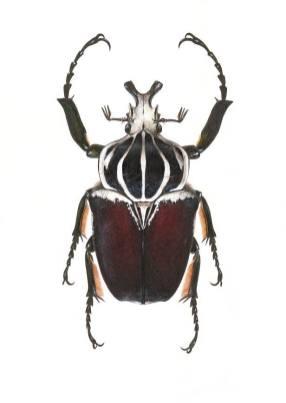 Goliath beetle, Carim Nahaboo