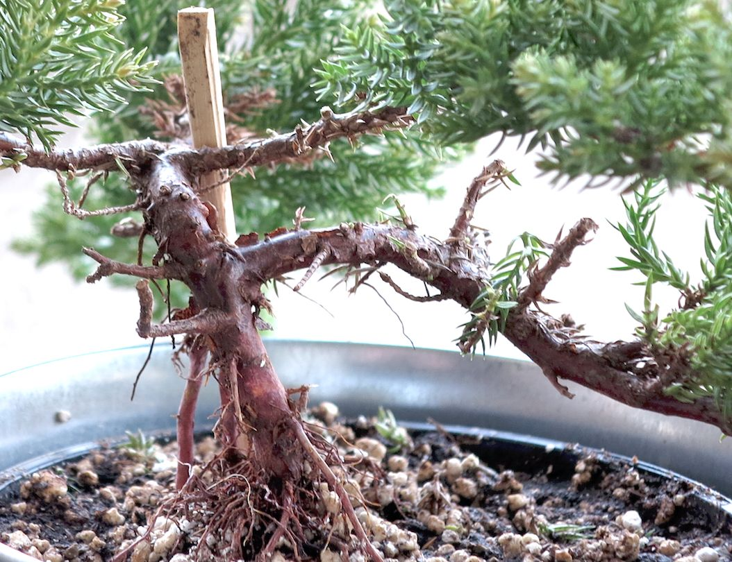 Bonsai: noob with scissors