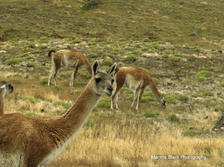 Photo of Guanaca looking at you taken in Torres del Paine, Patagonia (Chile)
