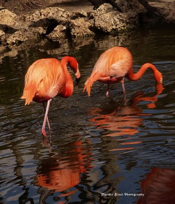 Two red-orange flamingos with their reflections in the water as they walked through the water in the flamingo park   Marsha J Black
