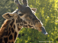 """Inquisitive Giraffe at """"Tasting Time,"""" sticking its tongue out tasting the air to see what's going on. 
