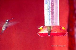 Hummingbirds in flight and feeding at the red hummingbird feeder | Marsha J Black