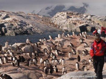 Walking Among the Gentoo Penguins on Useless Island, their nesting island in Antarctica   Marsha J Black