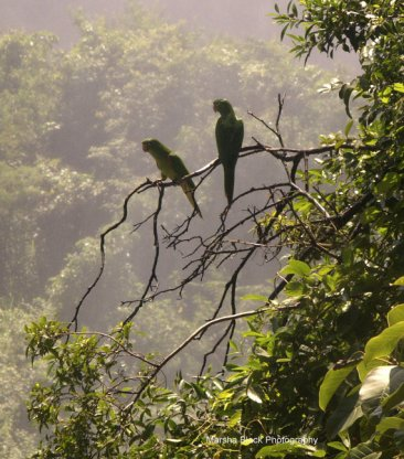 Wild Parrots sitting on a tree branch surrounded by the mist and lush foliage of Iguasu Falls, Argentina   Marsha J Black