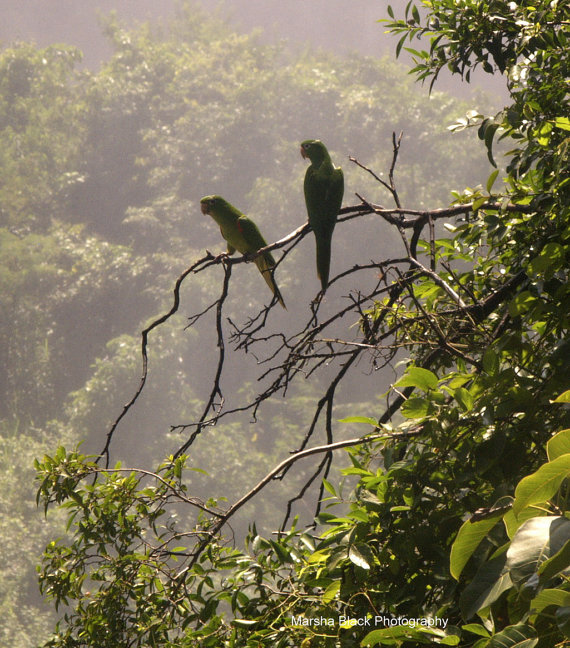 Wild Parrots sitting on a tree branch surrounded by the mist and lush foliage of Iguasu Falls, Argentina | Marsha J Black