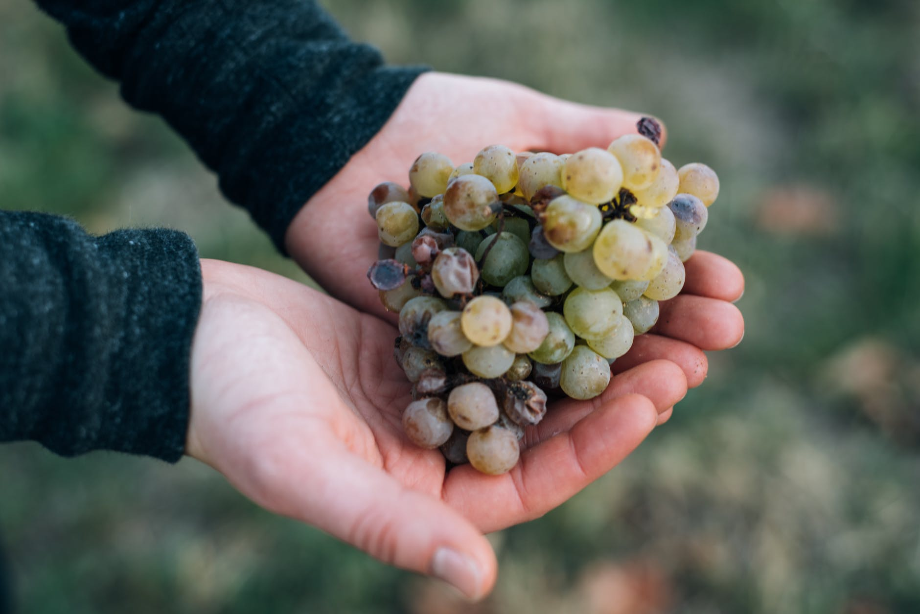 crop gardener showing handful of grapes -  vendemmia - vinificazione in bianco