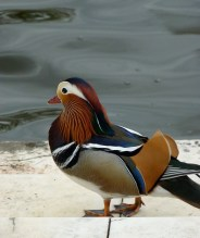 The same Mandarin, showing off his plumage.