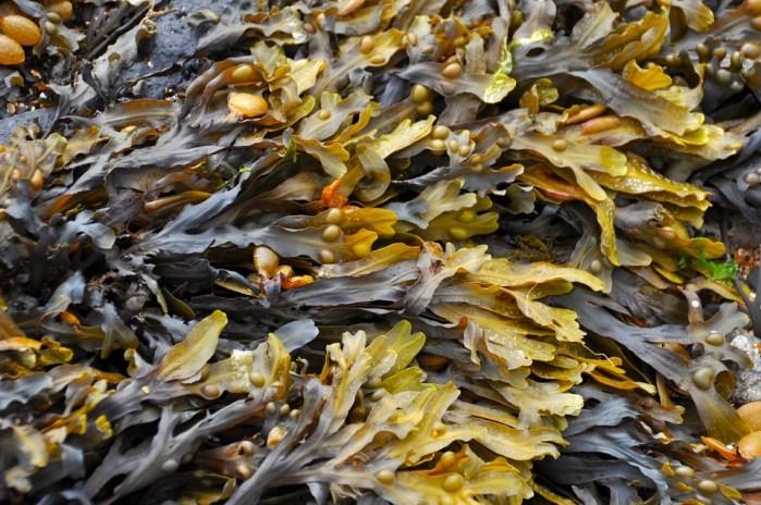 Seetang, gesunde Algen