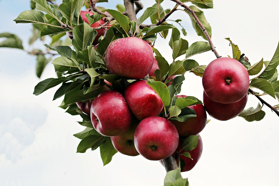 Resveratrol Apfel