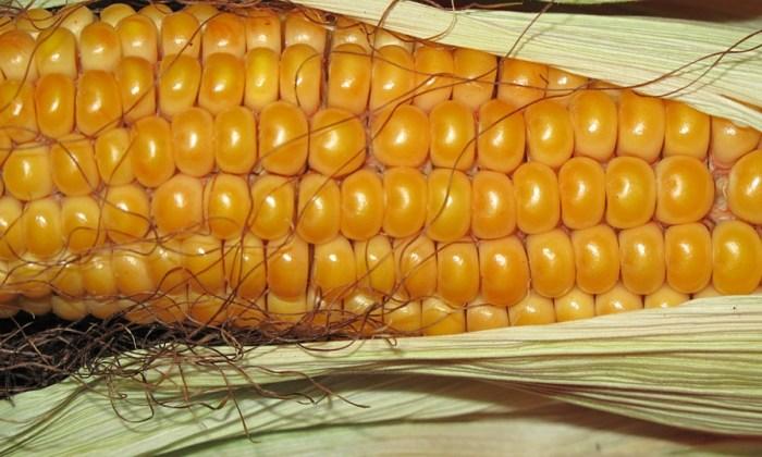 Mais ist gesund – wer ihn aber nicht essen sollte: Interessante Fakten