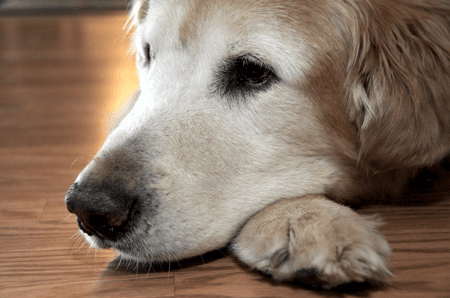 Dog lying in old age, awaiting death