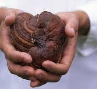 szív - ganoderma