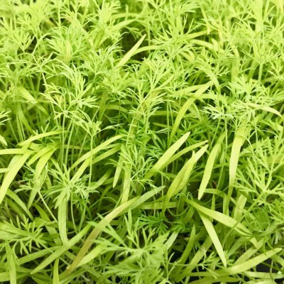 Dill | Vitality Farms | Lakeland, FL | microgreens