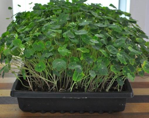 Nasturtium | Vitality Farms | microgreens
