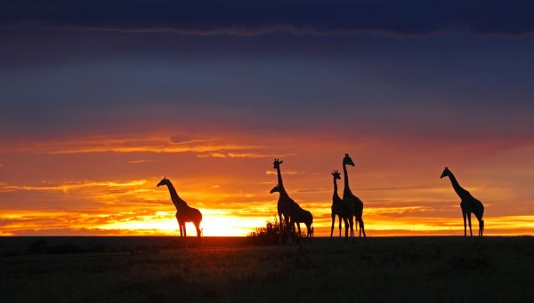 giraffe's at sunset