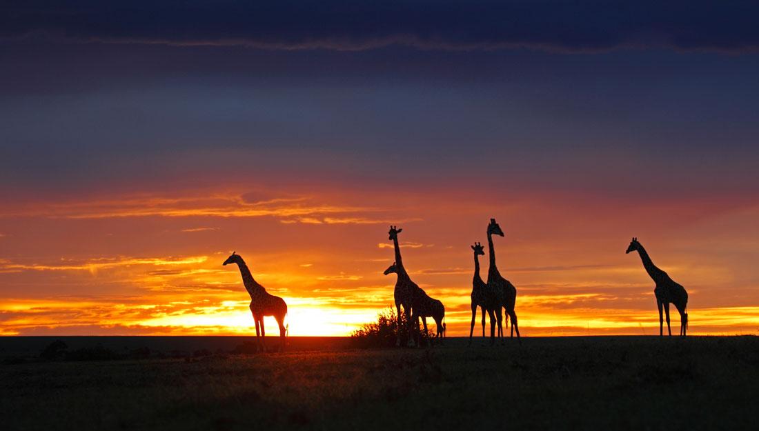 giraffe's at sunset