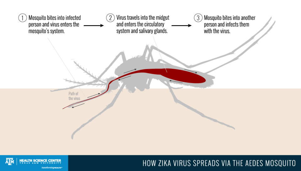 zika virus transmission - virus path by the aedes mosquito
