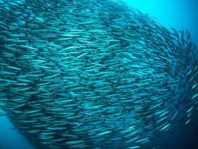 A school of barracudas looks much like biofilm bacteria