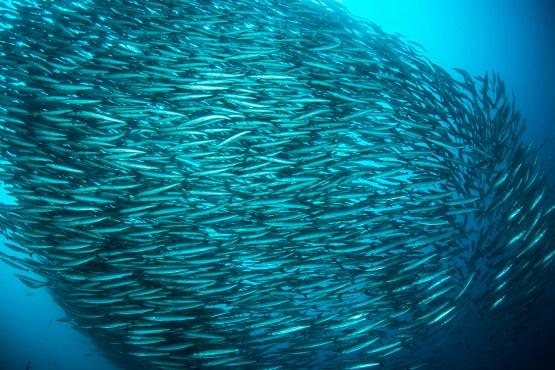 A school of barracudas looks much like biofilm bacteria