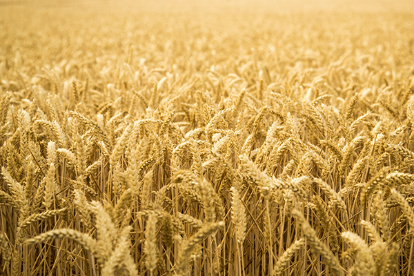 A wheat allergy is more than a gluten-intolerance