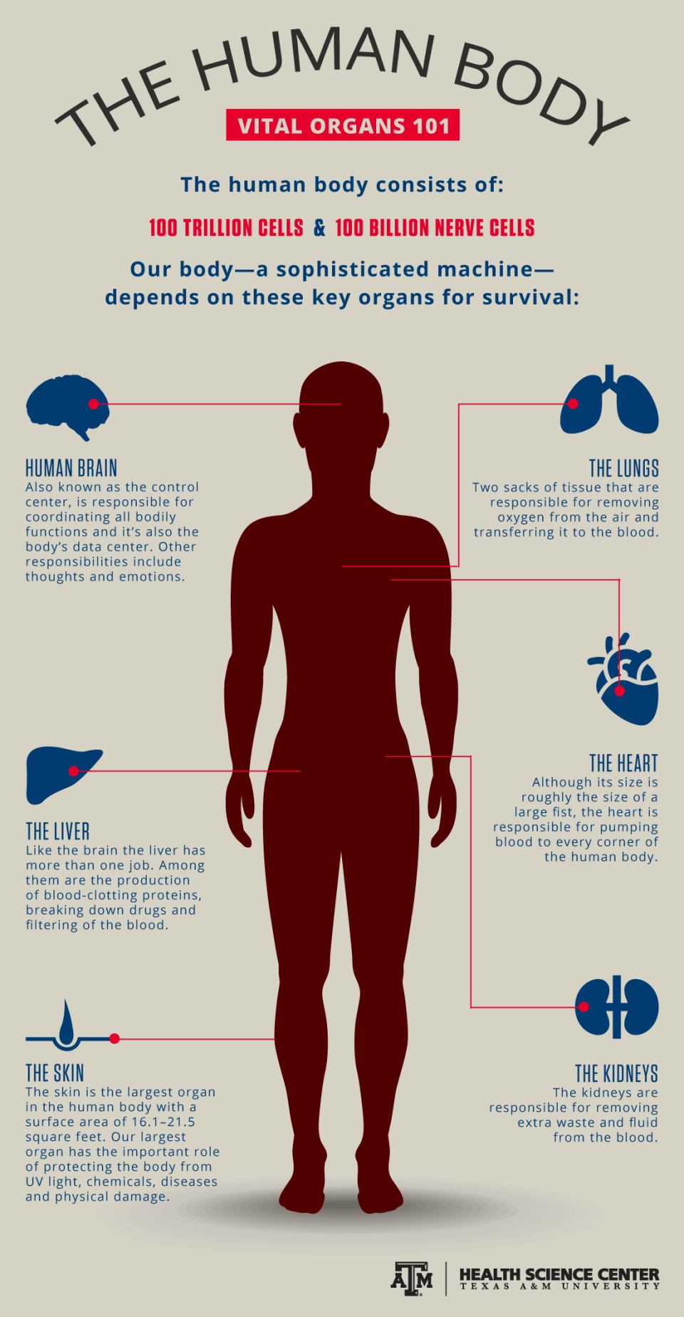 Infographic Major Organs 101 Vital Record