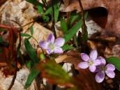 Spring Beauty (Claytonia virginica)