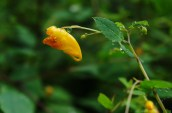 Fullness of Spotted Jewelweed