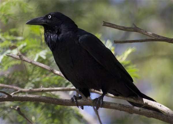 Черный ворон фото – Ой!