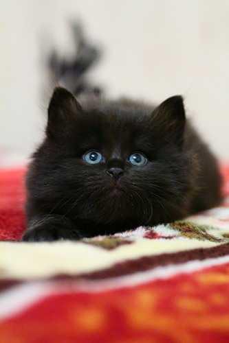На черном фоне черная кошка – Кошки Черный фон картинки ...