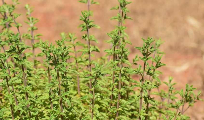 12 فائدة لنبات البردقوش Origanum Majorana واضراره الجانبية