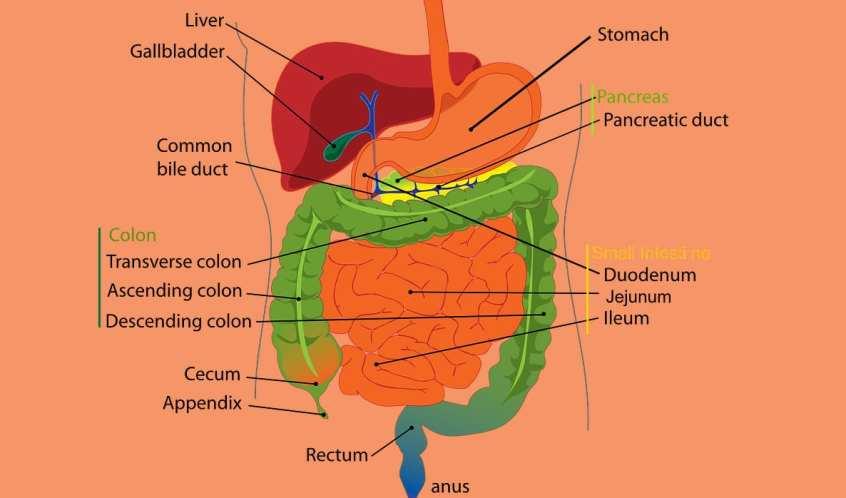 داء كرون والقولون التقرحي: النظام الغذائي وأفضل العلاجات الطبيعية