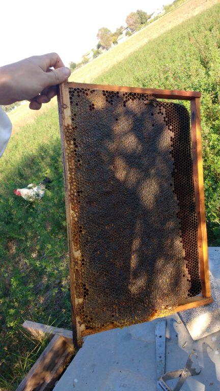 Telaino da nido con miele opercolato