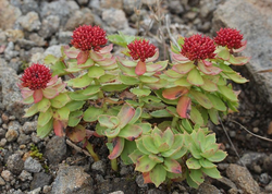 Chronic Fatigue Syndrome – Three Benefits of Rhodiola Rosea Extract