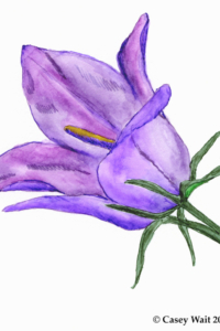 Parry's Bellflower