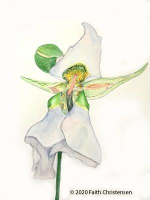 illustration of Mariposa Lilly
