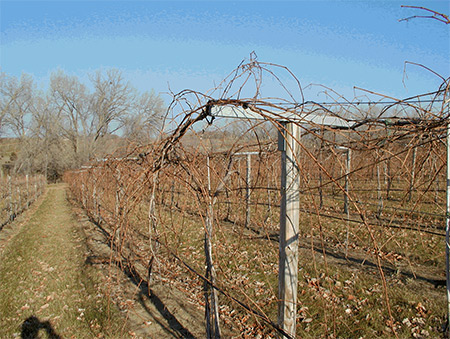 Trellis Systems For Your Vineyard Viticulture Program Nebraska