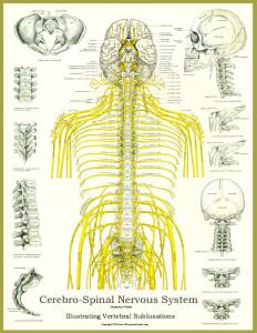 SpinalNerve