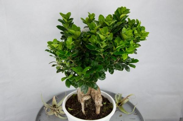 bonsai xl