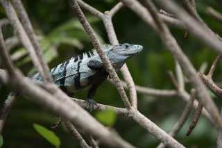 iguana-costa-rica