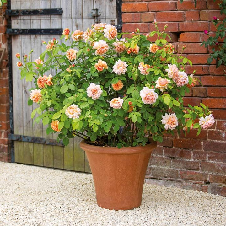 Rose inglesi David Austin