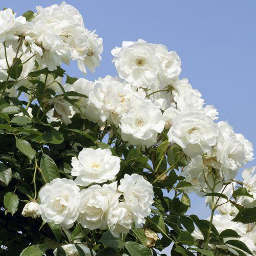 Rose a cespuglio con fiori a mazzi rifiorenti