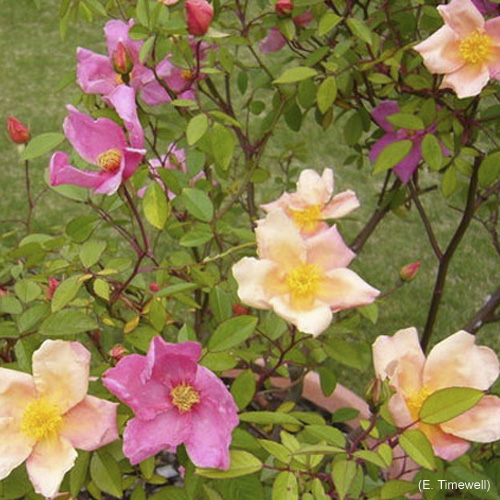 Rose varie
