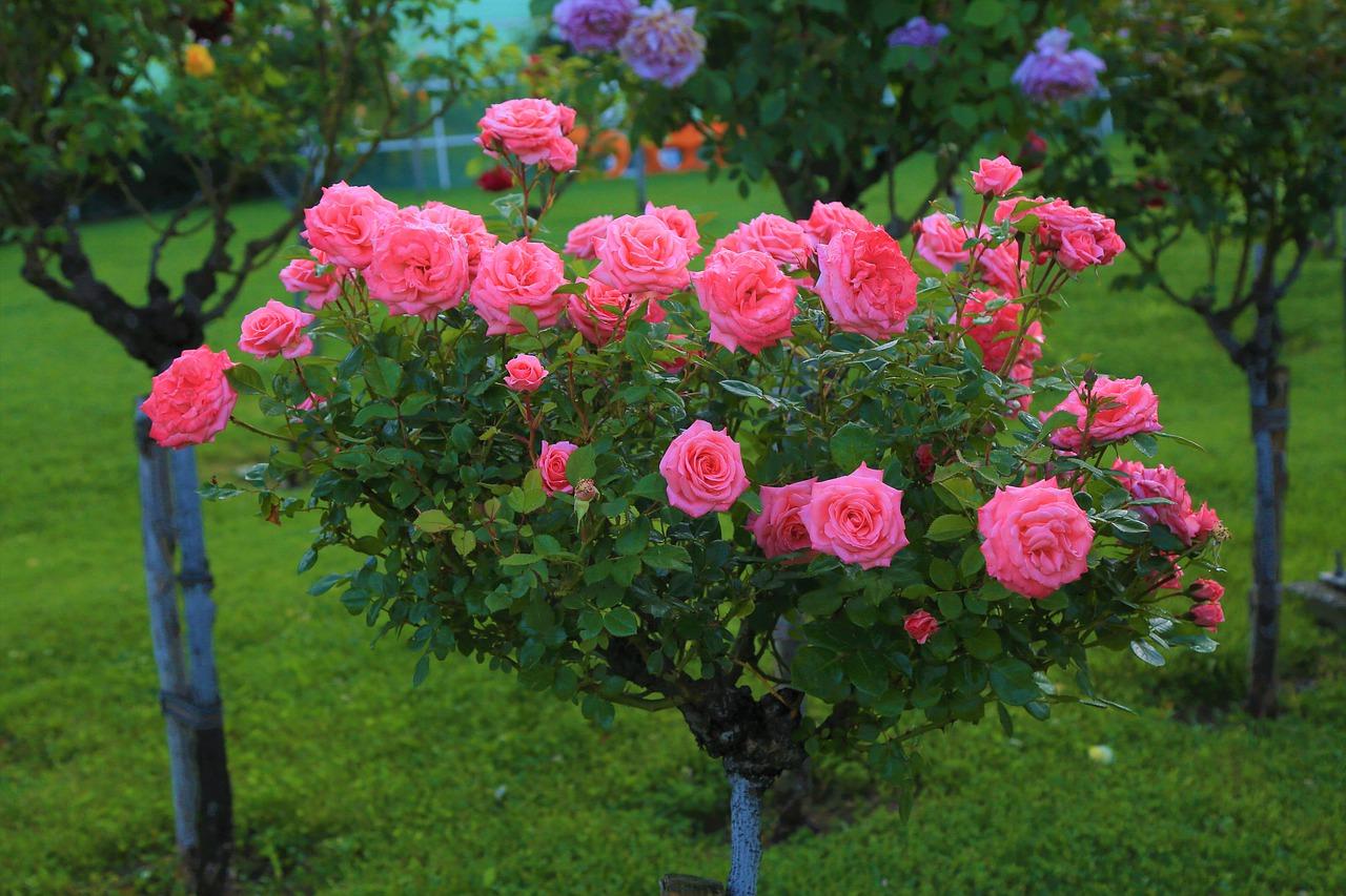 Rose alberello