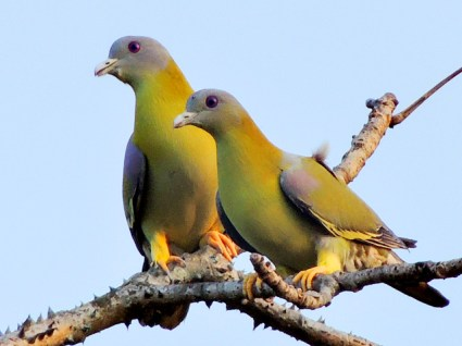 yellow-footed_green_pigeon_treron_phoenicoptera_photograph_by_shantanu_kuveskar