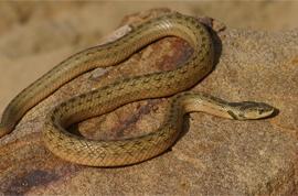 Самые опасные змеи в России(с фото) | VivaReit