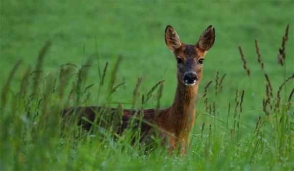 Интересные факты о представителях оленьих — косулях (с ...